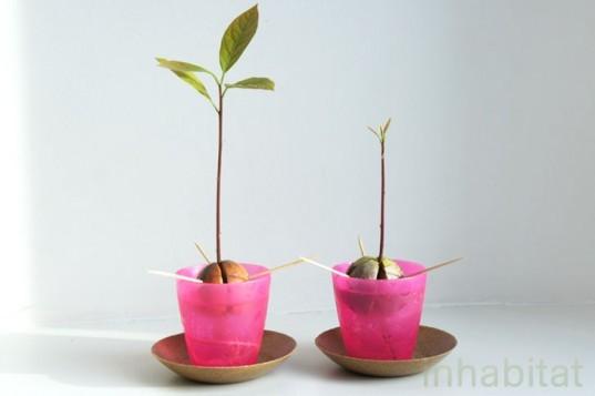 Φυτέψτε το δικό σας φυτό αβοκάντο από ένα κουκούτσι, φωτογραφία-6