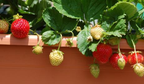 Όλα όσα πρέπει να ξέρετε εάν θέλετε να καλλιεργήσετε τις δικές σας φράουλες