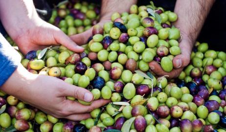 Ο θαυματουργός καρπός της ελιάς:  ποικιλίες, παρασκευή και συντήρηση