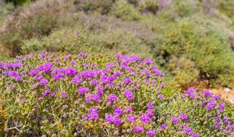 Τα αρωματικά φυτά της Κρήτης κινδυνεύουν από την αλόγιστη συλλογή τους