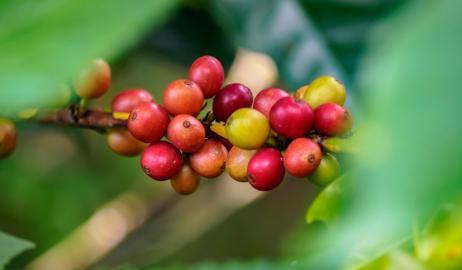 Tσάι cascara μια νέα μόδα