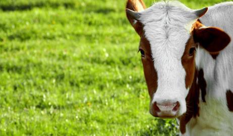 Μοσχαρίσιο κρέας: Όλα όσα πρέπει να γνωρίζουμε