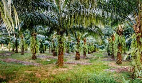 Απειλή για το περιβάλλον το εμπόριο του φοινικέλαιου