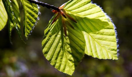 Φτελιά: το θαυματουργό βότανο…