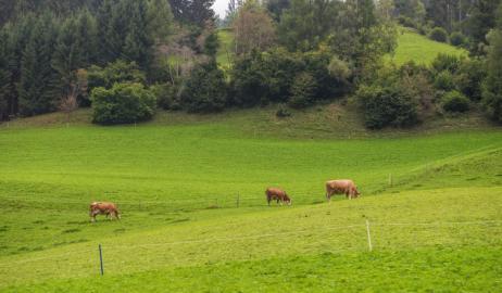 Σε τι διαφέρει το κρέας των βοοειδών που τρέφονται με σιτηρά από εκείνα που η διατροφή τους βασίζεται στη βοσκή