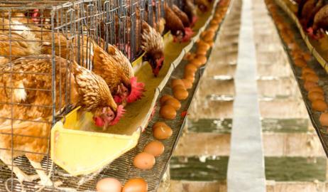 Καθησυχαστικός ο ΕΦΕΤ σχετικά με την παρουσία Fipronil στα αυγά για την Ελλάδα