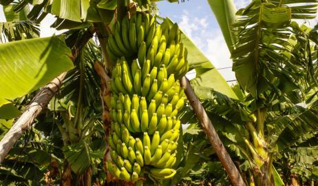 Το αβέβαιο μέλλον της μπανάνας