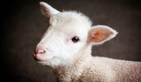 Κοιτάζοντας φωτογραφίες από μωρά ζώων, μειώνεται η όρεξη για κρέας