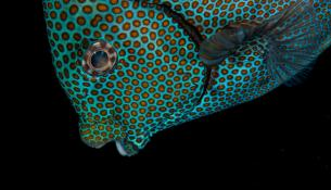 mesogeios-rabbitfish