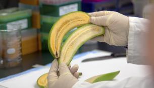 Επιστήμονες δημιούργησαν ένα τύπο μπανάνας που θα μπορούσε να σώσει τις ζωές 700.000 παιδιών το χρόνο