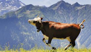 Όσο πιο ευτυχισμένη είναι η αγελάδα, τόσο καλύτερο είναι το γάλα