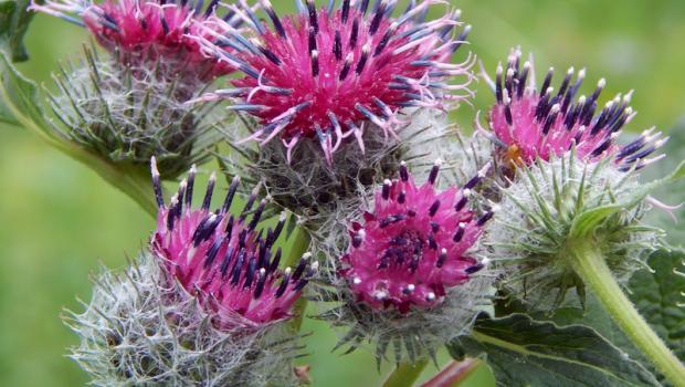 Κολλιτσίδα, ένα από τα 10 ισχυρότερα βότανα στον κόσμο