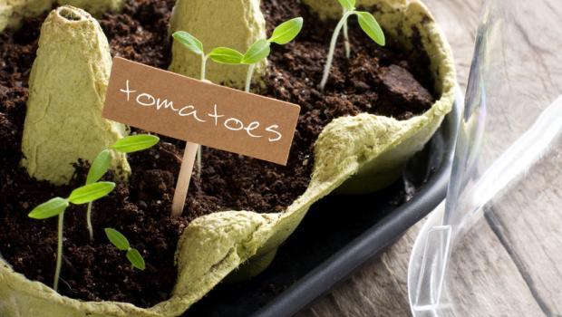 Πώς να καλλιεργήσετε τομάτες στην βεράντα σας