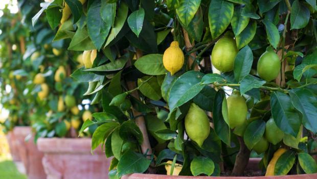 Πώς να φυτέψουμε μια λεμονιά στο μπαλκόνι