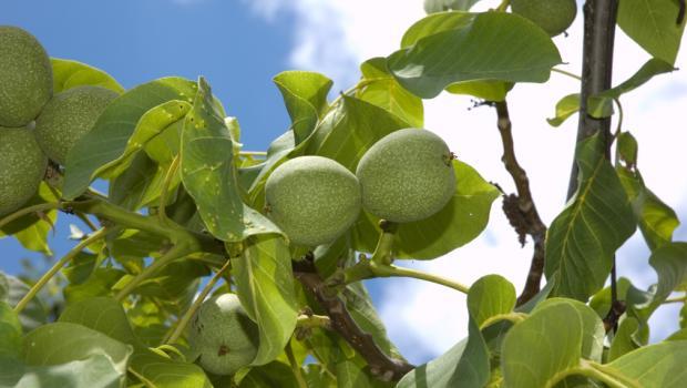 Η πολλά υποσχόμενη καλλιέργεια της καρυδιάς