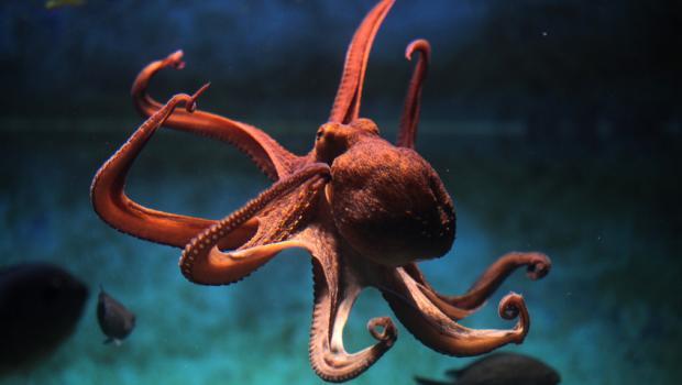 Χταπόδια, καλαμάρια και σουπιές ανθίστανται στις αλλαγές του περιβάλλοντος, αυξάνονται συνεχώς και «βασιλεύουν» στους ωκεανούς
