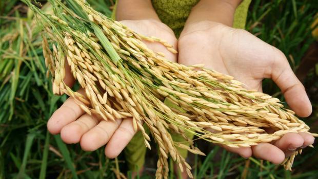 Επιστήμονες έφτιαξαν μια αποδοτική ποικιλία ρυζιού ανθεκτική στις ασθένειες