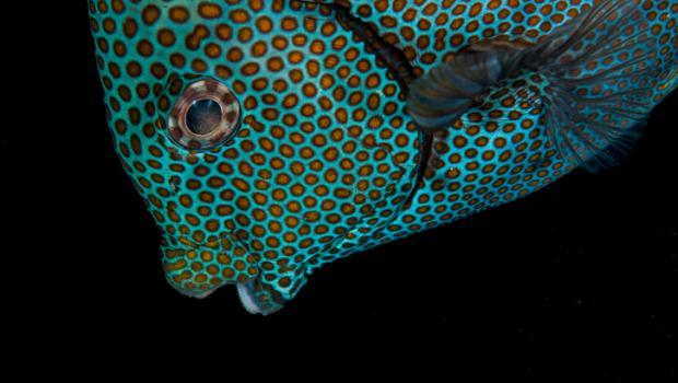 Πεινασμένο τροπικό ψάρι-εισβολέας απογυμνώνει το βυθό της Μεσογείου