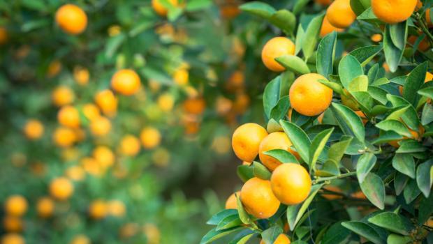 Κουμκουάτ, το ιδιότυπο μικρό χρυσό πορτοκάλι