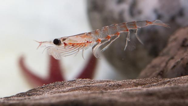 Το κριλ θα μπορούσε να αποδειχθεί μυστικό όπλο στη μάχη των πλαστικών στους ωκεανούς, αλλά δυστυχώς, υπάρχει και «δεύτερη ανάγνωση»