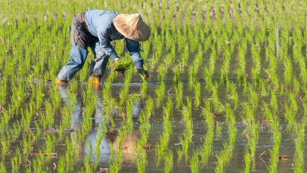 Πώς τα φυτά ρυζιού θα αντιμετωπίζουν στο μέλλον τις πλημμύρες