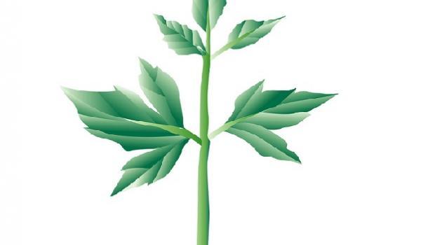 Ιδού το φυτό της αντιγήρανσης και της μακροζωίας που δεν είναι ελληνικό!