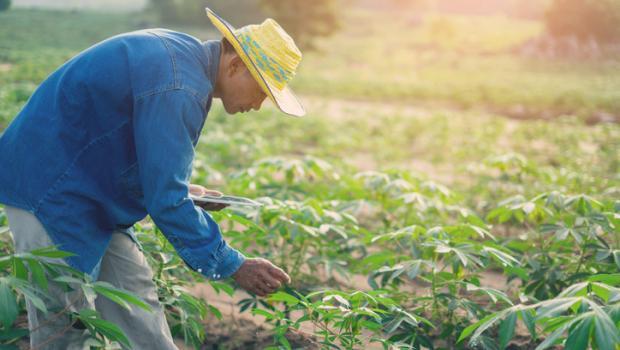 Βιοενισχυμένη κασάβα,  ένα πολλά υποσχόμενο εργαλείο βελτίωσης της διατροφής στη Δυτική Αφρική